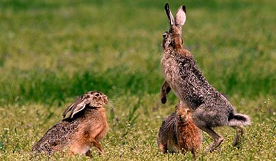 brown hare hunt
