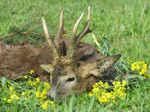 The formation of the roe deer antlers depending on the weather and the availability of food (Professional blog)